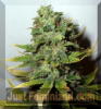 Nirvana Super Skunk Female 5 Marijuana Seeds